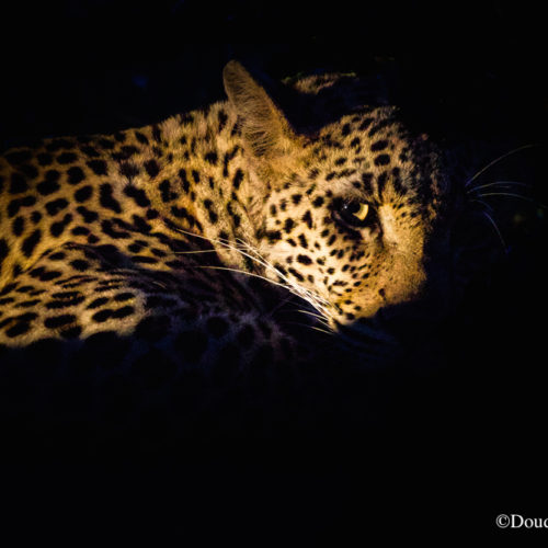 leopard greater kruger