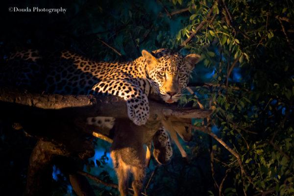 leopard greater kruger