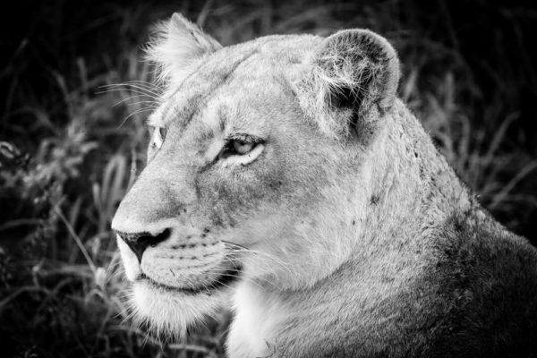 BIF FIVE LIONNE