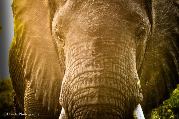elephant focus