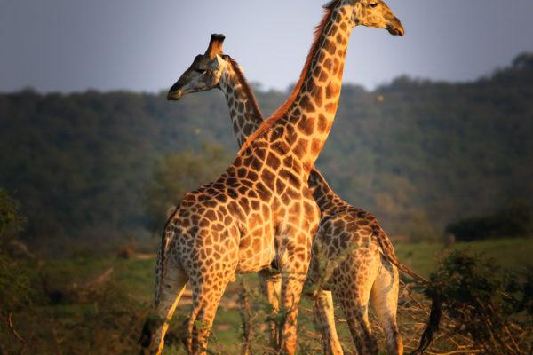 giraffes croisees