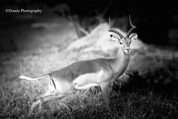 impala all