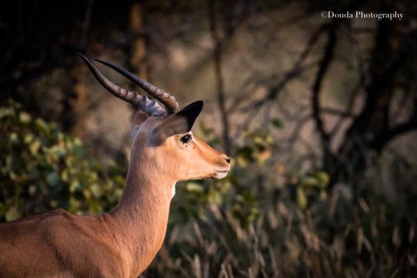 impala color