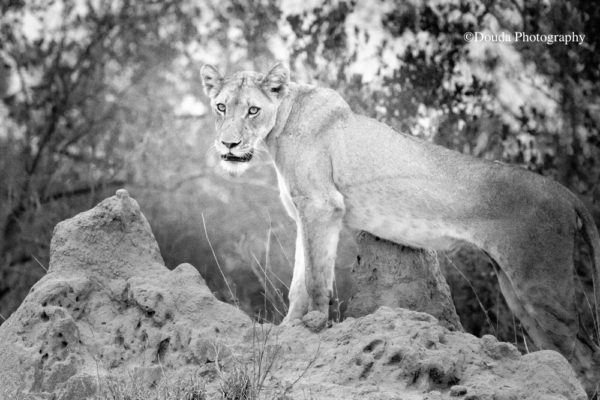 lioness on top