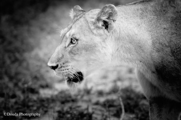 lionness bw 2