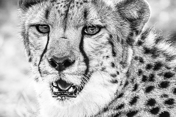 CHEETAH BW ZOOM