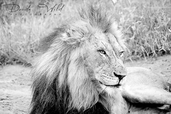 BW LION LAST SIGNED