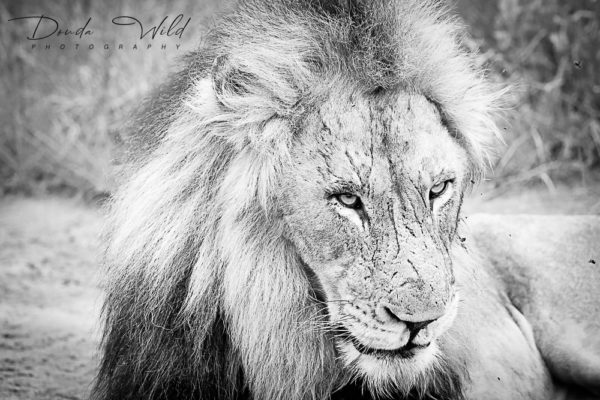 BW LION MANYELETI 3 SIGNED