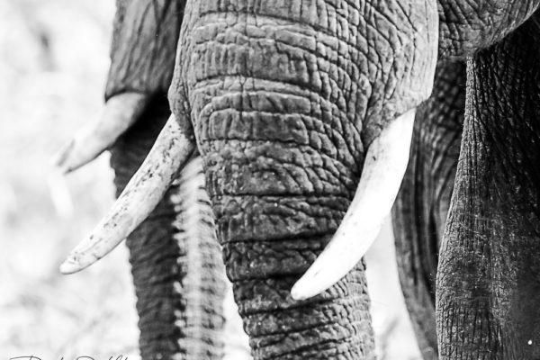 ELEPHANT TRUMP BW SIGNED
