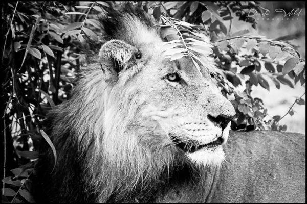 LION MAKALALI 1 SIGNED REDUIT