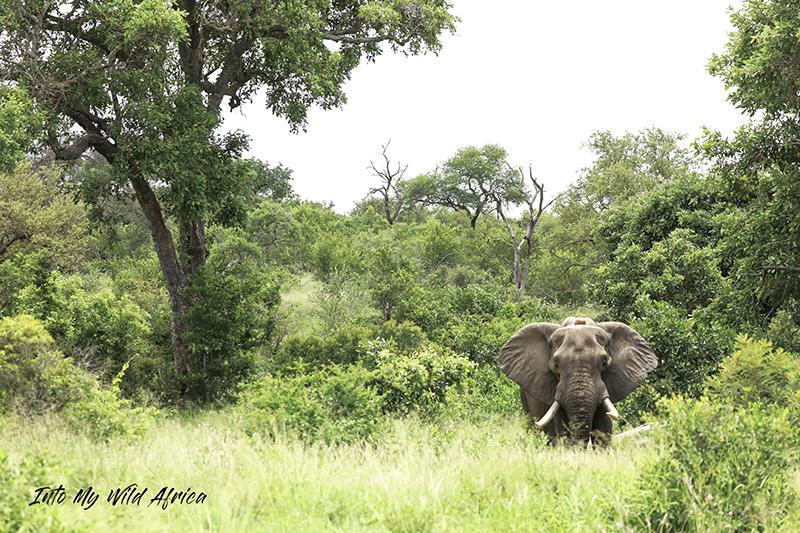 INTWANDAMELA ELEPHANT